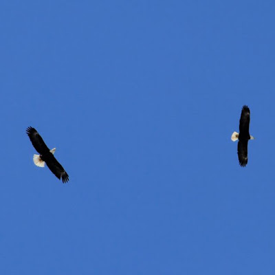 mating flight(?) of bald eagle pair