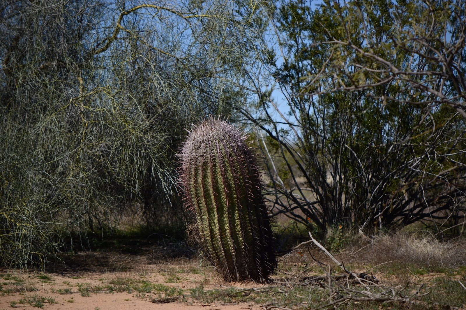 Landscape, barrel cactus, ferrocactus, photography, amy myers
