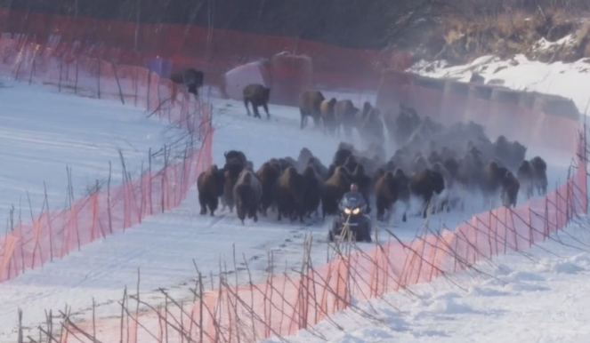 Extinct' Bison Filmed Thundering Back Into The Wild (Video)