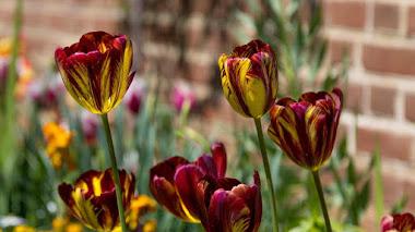 Los 'tulipanes rotos' que causaron la Tulipomanía eran tulipanes enfermos