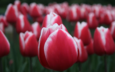 red tulip close up widescreen resolution hd wallpaper