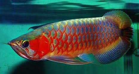 Ikan Arwana Tukul Arwana