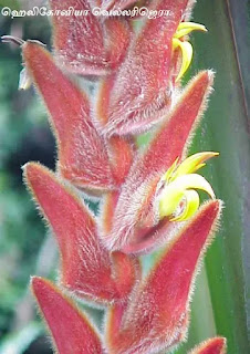 Heliconia vellerigera flower