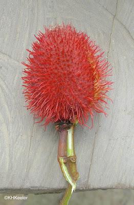 annatto Bixa orellana seed pod