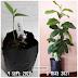 Transplanting pokok lemon