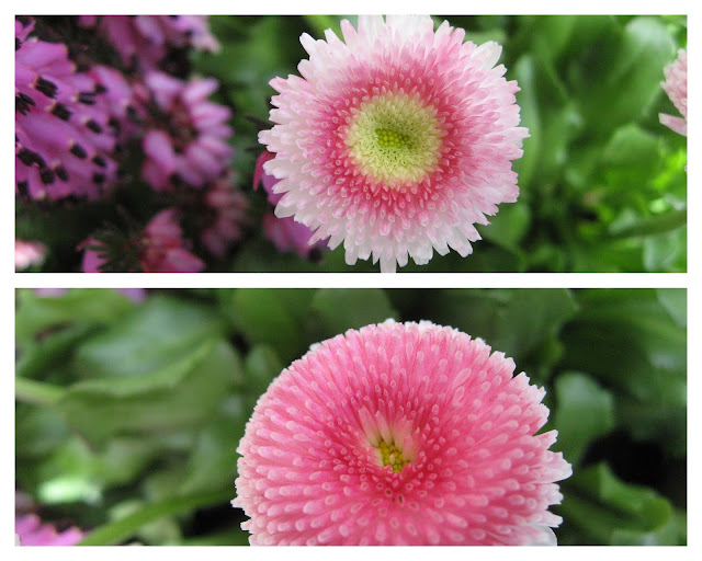 Ideer til vårblomstring i krukker - i fargene rosa/lilla - tusenfryd i all sin prakt