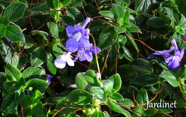 Floração da violeta pendente