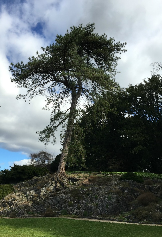 A scots pine clinging onto some rocks with its roots exposed