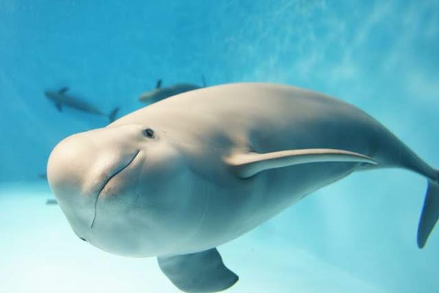 Cetacea Porpoise