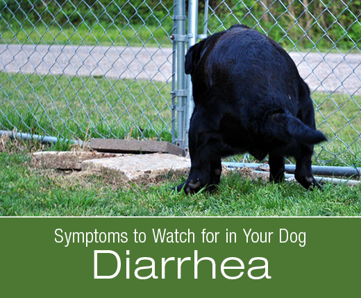 Symptoms to Watch for In Your Dog: Diarrhea