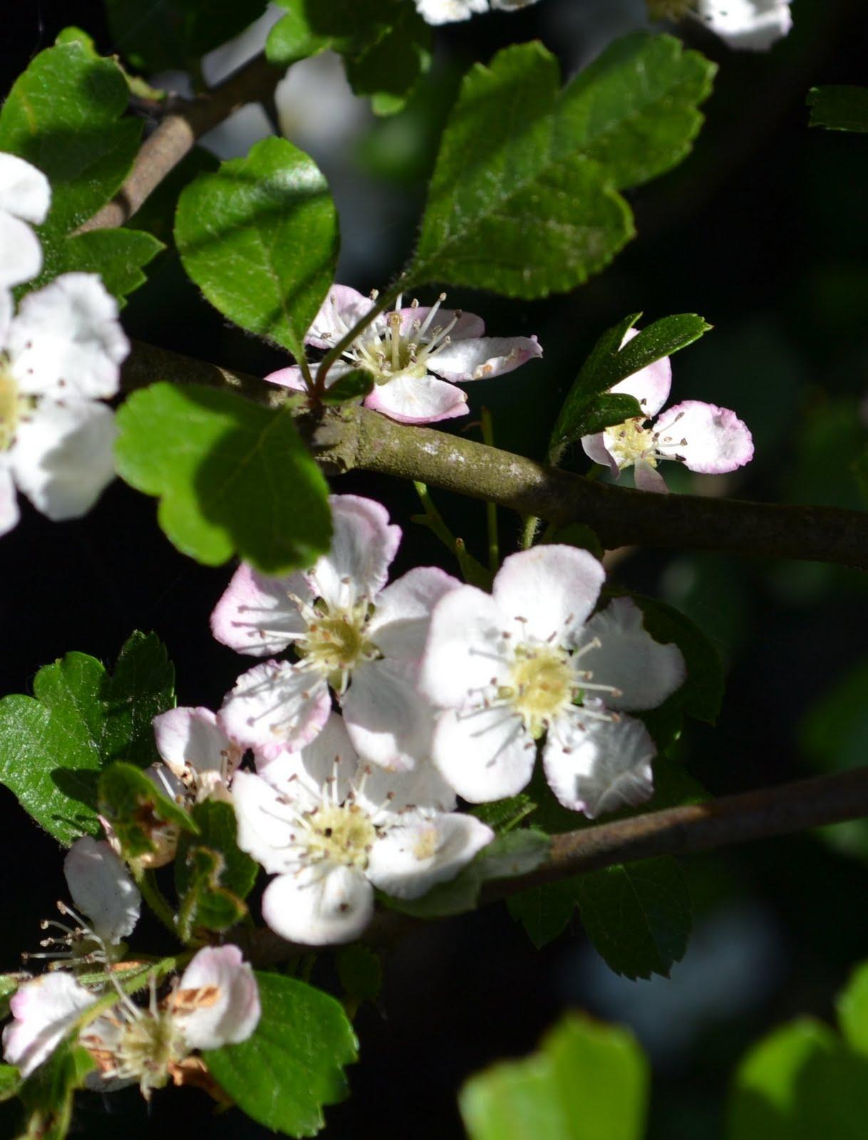 Walks Among Flowers Buckinghamshire Oakley Parish Hedge