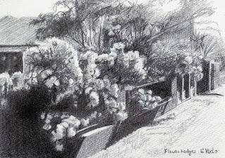 白い花の生け垣 ラフスケッチ。鉛筆で描いたもの。