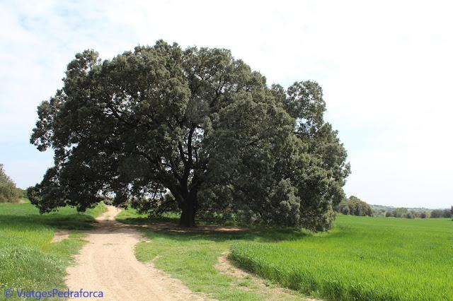 Berguedà, natura, arbre monumental de Catalunya