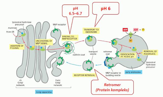 Pembentukan Vesikula Lisosom pada Permukaan Trans Golgi.
