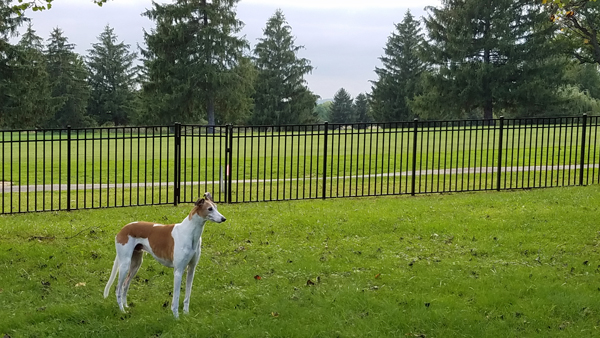 image of Dudley the Greyhound standing in the grass, with trees and a darkening sky in the distance