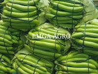 manfaat terong, terong hijau, benih ratih hijau, sayur terong, masakan terong, jual benih terong, toko pertanian, toko online, lmga agro