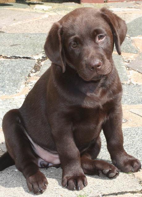 crecimiento de cachorros labrador marron