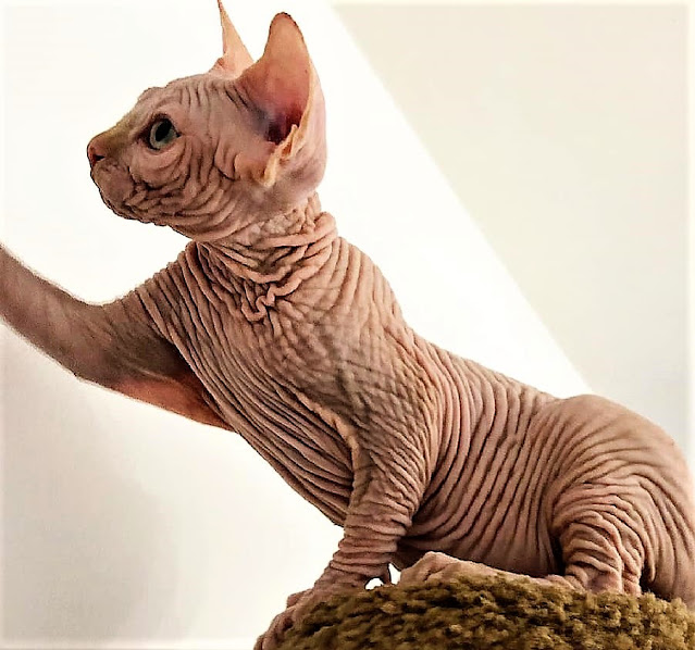 Are breeders creating skin wrinkles on hairless cats deliberately?