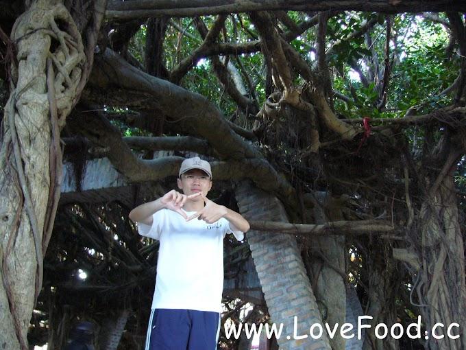 【澎湖白沙】通梁古榕-超過300歲的榕樹 來這吃仙人掌冰-Tongliang Great Banyan
