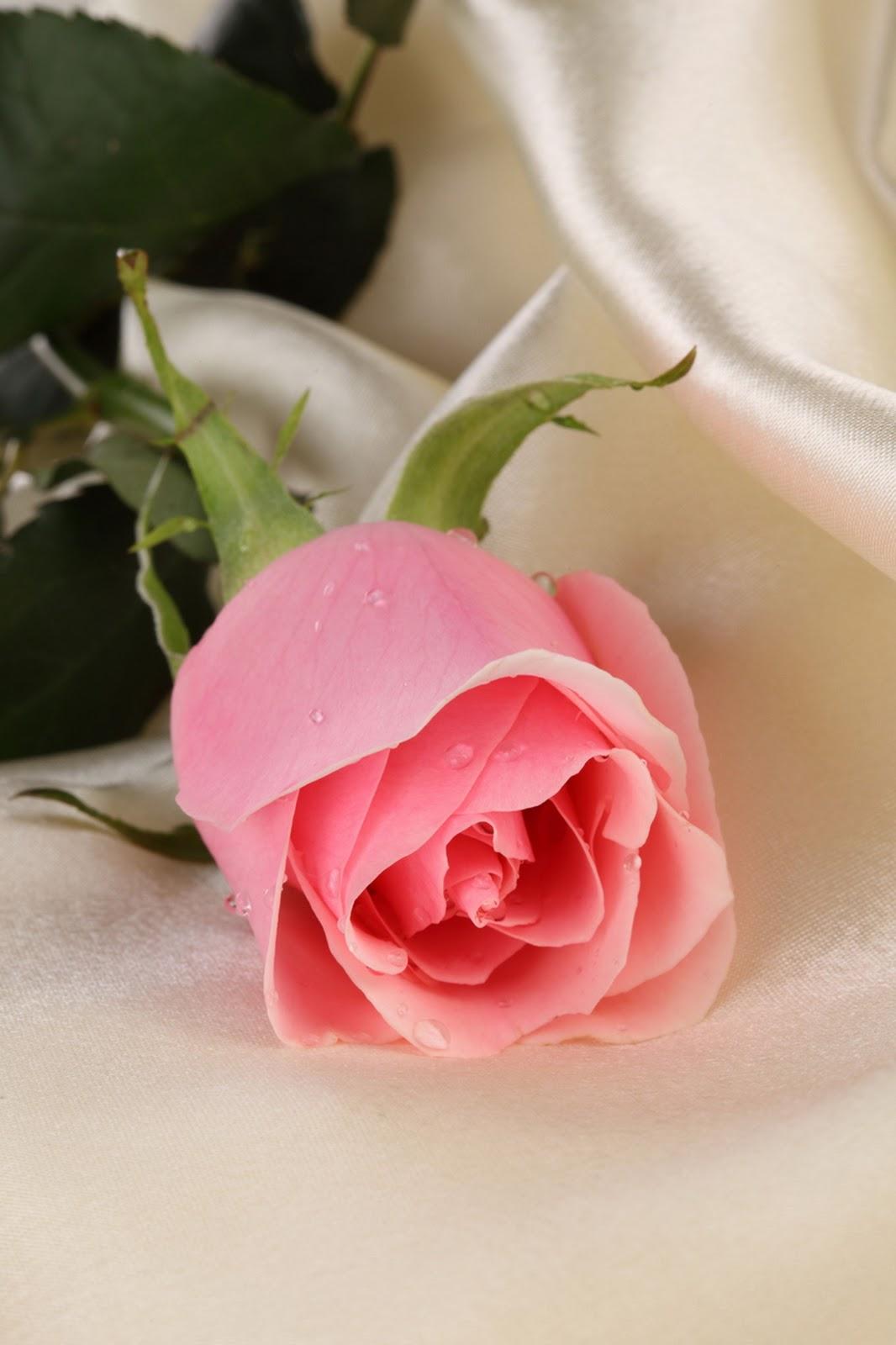 Foto Wallpaper Bunga Mawar Pink Bestpicture1 Org