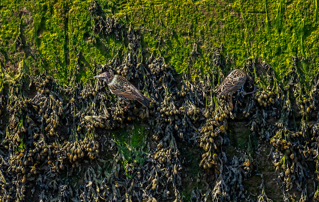 Photo of a closer view of two of the starlings on the harbour wall