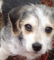Malteagle (Beagle Maltese mix) Temperament, Size, Adoption, Lifespan