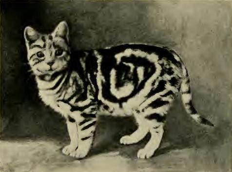 Blotched Tabby cat, Buzzing Silver, 1909, public domain