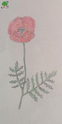 rysunek: czerwony kwiat, poppy, projekt zielnik, roślina, botanika, kreatywnie