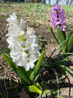 Hyacinths Outside
