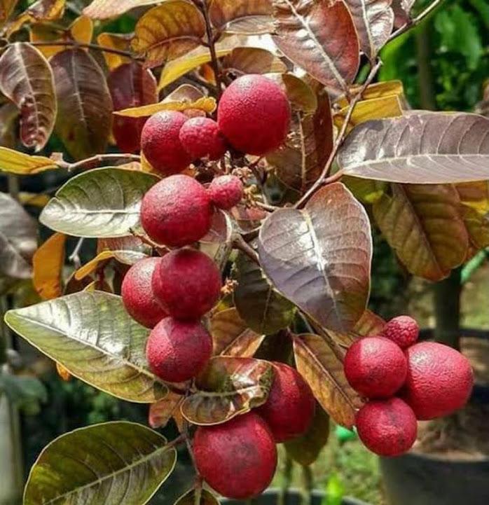Bibit Buah Kelengkeng Merah hasil okulasi bisa berbuah dalam pot Bali