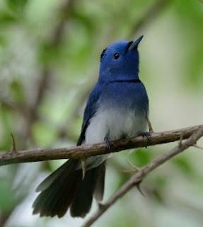 Suara Burung Kehicap Ranting (Selendang Biru)