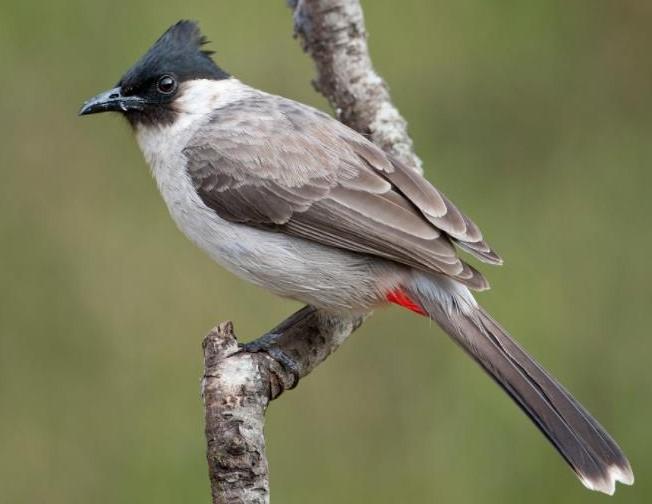 Cara Menghilangkan Suara Asli Burung Kutilang