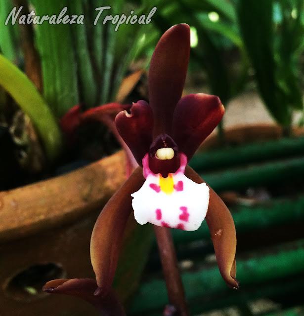 Flor de la especie Cymbidium atropurpureum