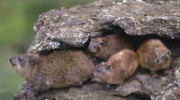 african hyrax pictures