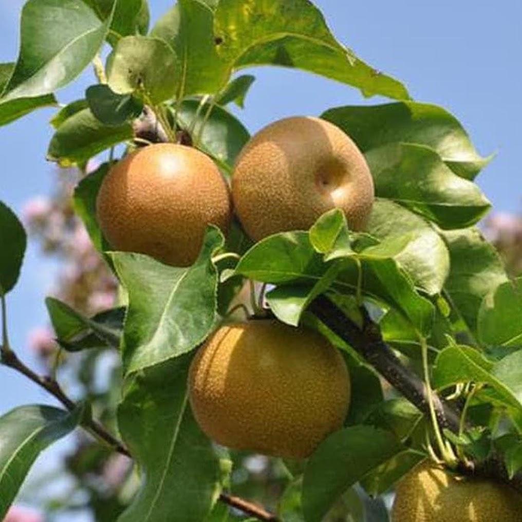 Original Bibit Pear Asia Bibit Buah Tanaman Asli Jawa Barat