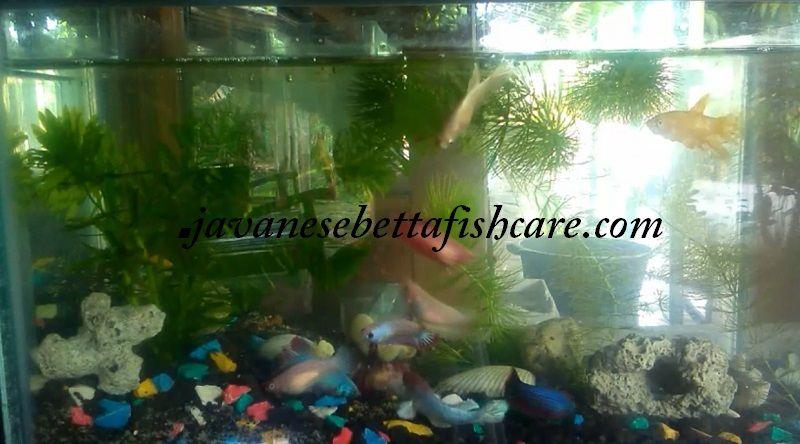 Image Female betta fish colors