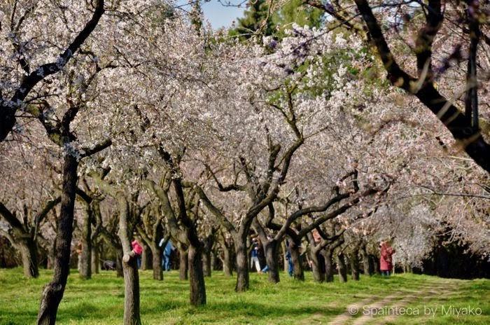 スペインで桜のようなお花見を楽しめるマドリードの公園