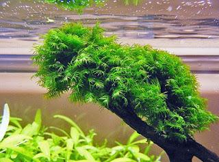 Jenis Moss Aquascape Fissiden Moss