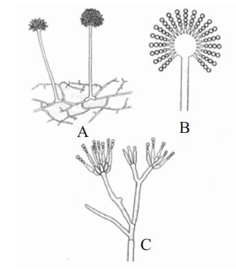 Pengertian Fungi Jamur Ciri Pembagian Terstruktur Mengenai Zygomycotina ...