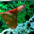 Harga Ikan Guppy Impor Dan Lokal Dari yang Murah Sampai Termahal