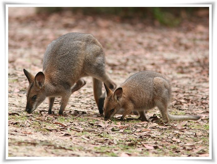 Wallaby facts pictures