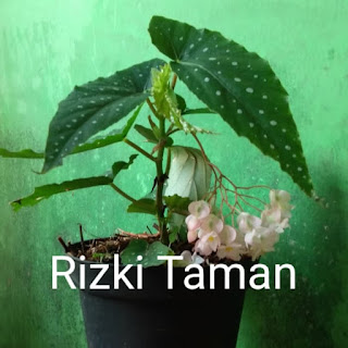 Bibit Tanaman Begonia Angel Wing bunga Begonia flamingo queen