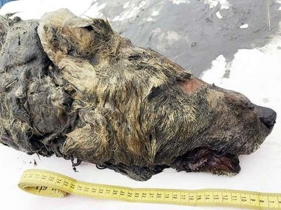 यहां मिला 40 हजार साल पुराने जानवर का सिर, हकीकत जानकर रह जाएंगे दंग