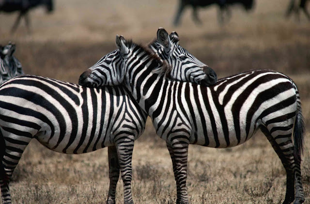 zebra-sleeping-images-science-and-technology-allquotesicon-best-trending-facts-how-much-rest-you-need-upon-your-age-free-content-essay-online-free