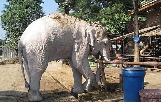 Animals Plants Rainforest Story White Elephant Albino