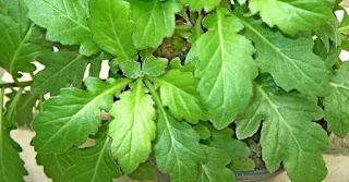 Tumbuhan herbal berkasiat untuk segala penyakit