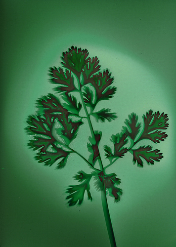 Behind the French Menu: Coriandre - Coriander, the Herb. Coriander ...