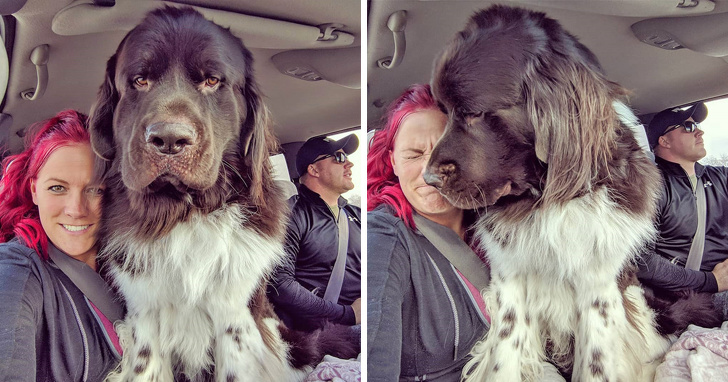 18 Majestic Pictures Of Newfoundlands Show How Enormous These Animals Are