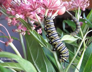 Monarch caterpillars on Swamp milkweed plants - © Denise Motard