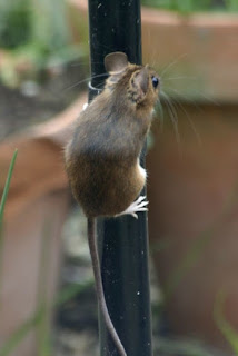 Fındık duvara faresi tırmanır mı ?